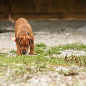 picture of vizsla  - young hunting dog  - JPG