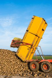 pic of dumper  - A yellow hydraulic dumper dumps sugar beets on a heap beside the field awaiting transport to the sugar factory. ** Note: Soft Focus at 100%, best at smaller sizes - JPG