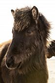 stock photo of foal  - Portrait of a young black Icelandic foal with curly mane