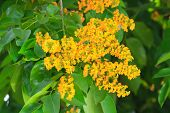 picture of jungle flowers  - Yellow Color of Padauk Flower or Papilionoideae Flower The symbol of the Royal Thai Navy - JPG