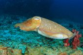 picture of cuttlefish  - Pharaoh Cuttlefish - JPG
