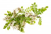 picture of locust  - black locust Branch with white flowers isolated on white - JPG