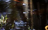 image of swamps  - Shot of a Frog swimming in a murky swamp - JPG