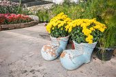 stock photo of marigold  - Blossom marigold in pots with boot shape decorated in the garden - JPG