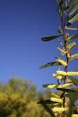 picture of mimosa  - Beautiful day in March and the blue sky - JPG