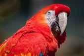 ������, ������: scarlet macaw