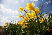 pic of easter lily  - Narcissus pseudonarcissus  - JPG