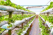 stock photo of row houses  - growing strawberry rows in a green house - JPG