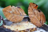 picture of mimicry  - two oak leaf butterflies on a slice of pineapple - JPG
