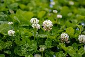 image of clover  - White clover  - JPG