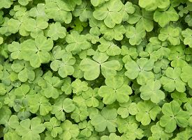 pic of shamrocks  - three shamrock leaves in a clover patch - JPG