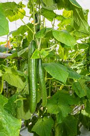 picture of cucumbers  - Row of climbing cucumber plants growing on substrate with hydroponic in the glasshouse of in a specialized cucumber nursery.