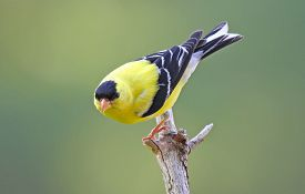 image of goldfinches  - A bright yellow male American goldfinch  - JPG
