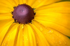 stock photo of black-eyed susans  - Yellow Rudbeckia Black eyed Susan Flower close up - JPG