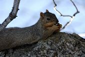pic of pecan tree  - Squirrel on a pecan tree eating a pecan.