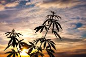 Silhouette Of Cannabis On A Blurred Background In Sunset Bright Light. Marijuana. Hemp. Cannabis In poster