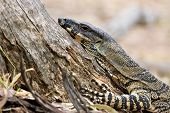 picture of goanna  - a lace monitor  - JPG