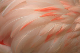 foto of pink flamingos  - Close-up almost 3D look of pink flamingo fathers very detailed. ** Note: Slight blurriness, best at smaller sizes - JPG