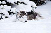 picture of siberian husky  - Young Husky on the white snow background - JPG