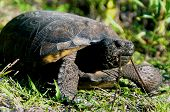 stock photo of gopher  - Close up of a large Gopher Tortoise in profile eating grass low angle shot. This turtle is endangered and protected in Florida.