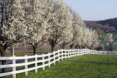 stock photo of dogwood  - Row of Dogwood Trees blossoming in spring season - JPG