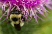 Fuzzy Bee On Purple Petals Of Wildflower poster