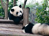 foto of mating bears  - Two giant panda bears come to play - JPG