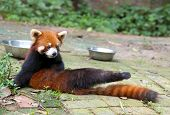 Red panda bear doing exercise