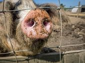 Close Up Of A Pig Nose Sticking Outside The Primitive Metal Farm Enclosure Fence poster