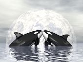 picture of orca  - Couple of orca kissing in front of the moon - JPG