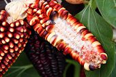 pic of zea  - Corn with some white and black kernels removed - JPG