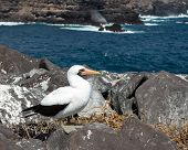 foto of booby  - Nazca booby is seabird famous for living on Galapagos Islands National Park in Ecuador - JPG