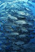 image of bigeye  - Large school of bigeyed trevally fish - JPG