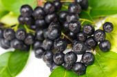 image of aronia  - Chokeberry  - JPG