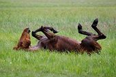picture of fillies  - The horse is swinging in the grass after a bath - JPG