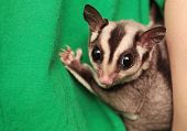 Portrait Of Small  Sugar Glider (petaurus Breviceps). Omnivorous, Arboreal Gliding Possum