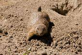 Cute Marmot Playing On The Ground
