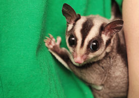 foto of possum  - Portrait of small sugar glider  - JPG