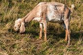 image of anglo-nubian  - Closeup of a typical female Nubian goat while eating grass - JPG