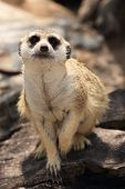 Meerkat In Open Zoo