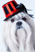 Shih tzu dog in hat portrait.