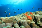 picture of damselfish  - Hard Corals and Lyretail Anthias and Damselfishes - JPG