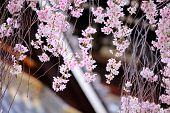 Weeping cherry flower with japanese temple background