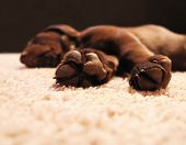 picture of dog-house  - a cute chocolate lab puppy sleeping in a house with shallow depth of field  - JPG