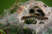 stock photo of cocoon tree  - A lone caterpillar waling on its nest on a apple tree,