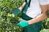 stock photo of prunes  - Gardener pruning tomatoes in a greenhouse horizontal - JPG