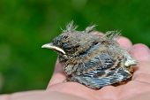 picture of pie-in-face  - chick of pied wheatear in natural habitat  - JPG