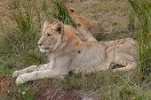 picture of veld  - Lioness lying in the grass in South Africa - JPG