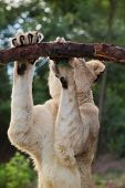 picture of veld  - Liones sharpning her nails on a branch at Zorgfontein - JPG