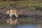 stock photo of veld  - Lioness drinking water in Nature South Africa - JPG